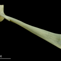 Bullrout maxilla lateral view
