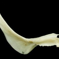 Common carp cleithrum medial view