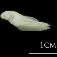 European plaice supracleithrum lateral view