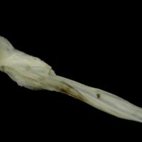 Grey Triggerfish cleithrum medial view
