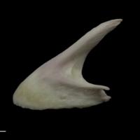Parrot fish premaxilla lateral view