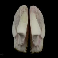 Parrot fish pharyngeal dorsal view
