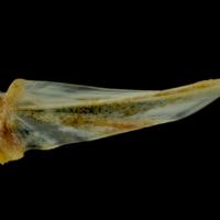 Gilthead seabream basipterygium medial view