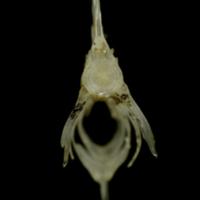 Sandsmelt caudal vertebra anterior view