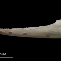 European eel dentary lateral view