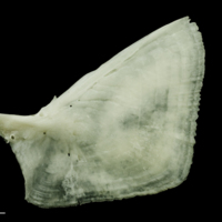 Freshwater bream opercular lateral view