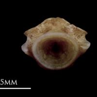 Red seabream first vertebra posterior view