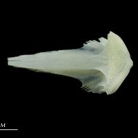 European seabass vomer ventral view