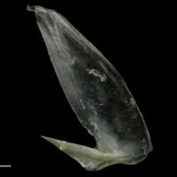 Common pandora subopercular lateral view