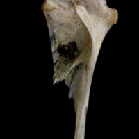 Red seabream hyomandibular lateral view