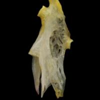 European eel hyomandibular medial view