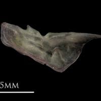 European eel preopercular medial view