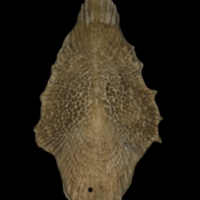 Sturgeon scute lateral view