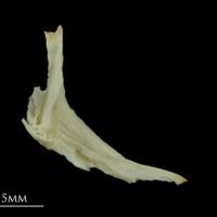 Dragonet cleithrum medial view