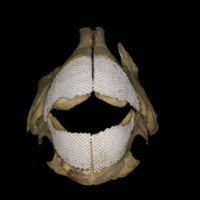 Parrot fish jaw anterior view