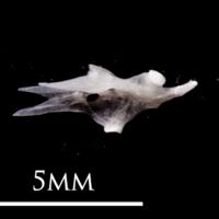 European eel hyomandibular lateral view