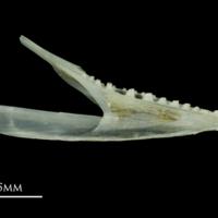 Poor cod dentary medial view