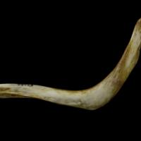 European conger cleithrum lateral view