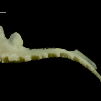 Whiting premaxilla lateral view