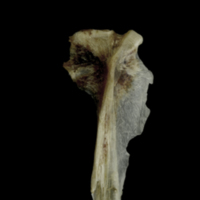 Brill hyomandibular lateral view