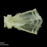 Bullrout basioccipital dorsal view