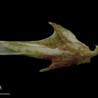 Spanish mackerel articular lateral view