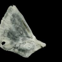 Roach opercular medial view