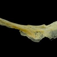 Gilthead seabream preopercular medial view