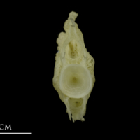 European conger ultimate vertebra anterior view
