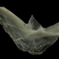 Burbot preopercular medial view