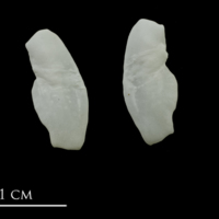 European conger otolith(s) detail view
