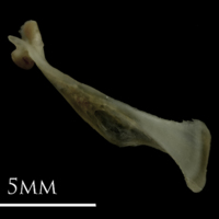 Eelpout maxilla medial view