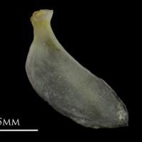 European eel opercular medial view