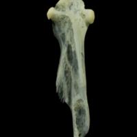 Red mullet hyomandibular lateral view