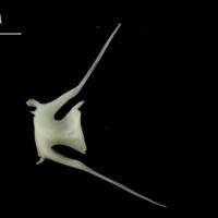 Ling caudal vertebra lateral view
