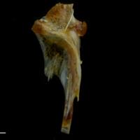 Black seabream hyomandibular lateral view
