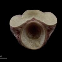 Meagre first vertebra anterior view