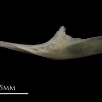 European eel for assessment lateral view