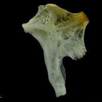 European seabass hyomandibular medial view