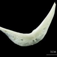 European plaice preopercular lateral view