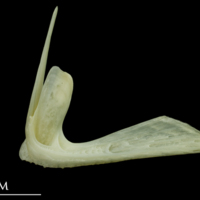 Bullrout premaxilla lateral view