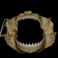 Kitefin Shark jaw anterior view