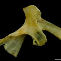 Saithe hyomandibular lateral view