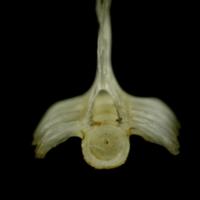 Sandsmelt precaudal vertebra anterior view