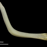 European eel cleithrum medial view