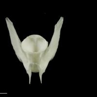 Ling precaudal vertebra dorsal view