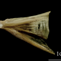 Turbot quadrate lateral view