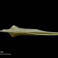 Mediterranean moray parasphenoid ventral view