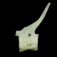 Bullrout precaudal vertebra lateral view