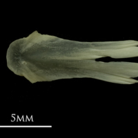 Grayling vomer dorsal view